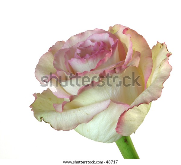 A white rose isolated on a white background.