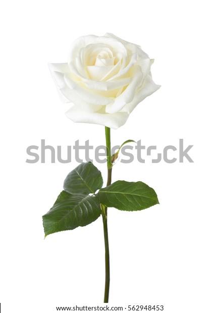 Белая роза изолирована на белом фоне.