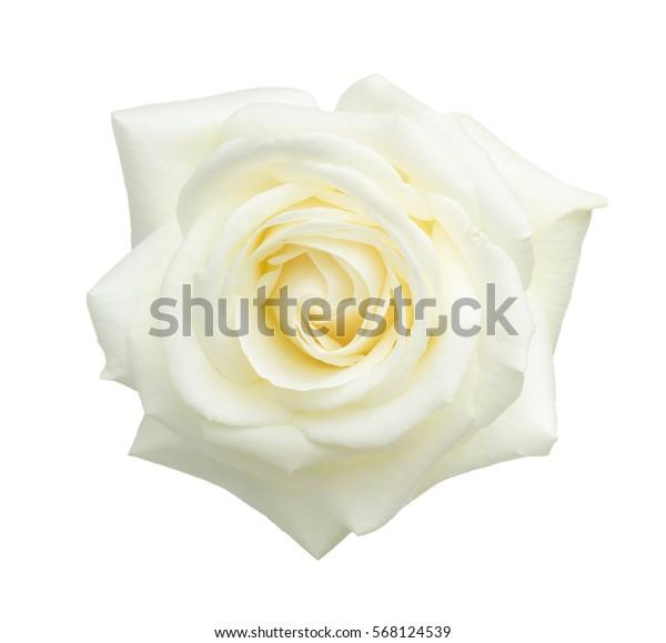 Белая роза изолирована на белом фоне