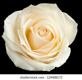 White rose isolated on a black background