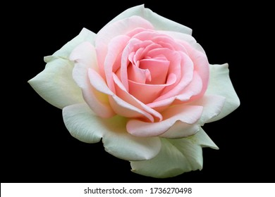 White rose isolated on the black background png