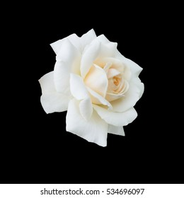 White rose isolated on a black background.