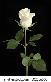 white rose with leave and stem isolated on black background