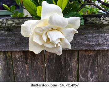 A white rose like flower with green leaves, draped over a brown and gray old fence.