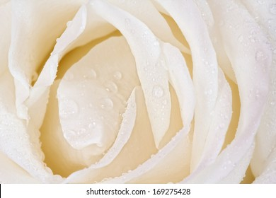 white rose macro with dew