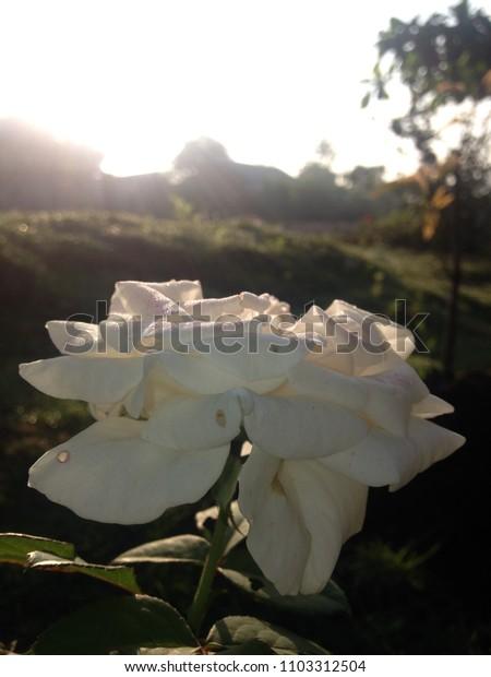 White Rose in The Morning