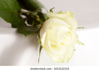 a white rose on a white background