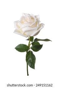 White rose on a white background.