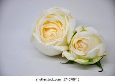 White rose on the white background