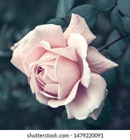 White rose on a dark background close-up