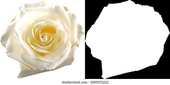 White rose on transparant background with clipping path and alpha channel
