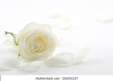 White rose with petals close-up over white background