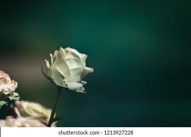 White rose petals slipping away.