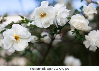 White rose rosa spinosissima blooming