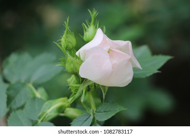 White rose and rosebuds with green background in spring