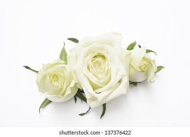 white rose , white roses