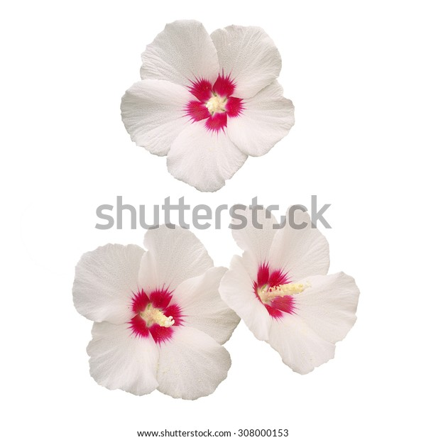 white rose of sharon flowers hibiscus syriacus isolated on white