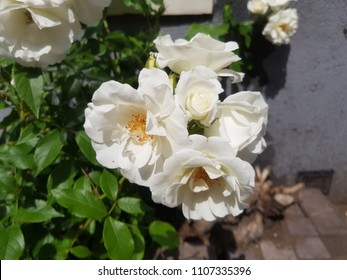 white rose street flower