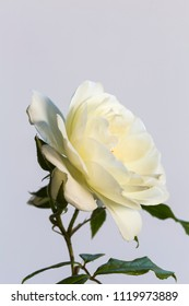 The white rose, a symbol for purity and virgin, often in common use in weddings and in combination with a white dress