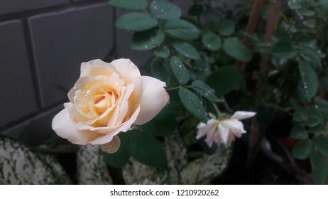White rose with water drop.