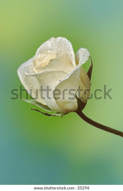 A white rose with water drops