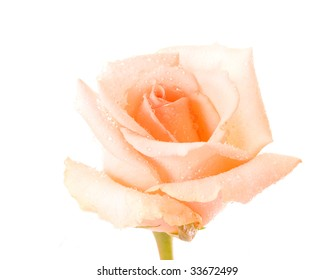 White rose with water drops isolated