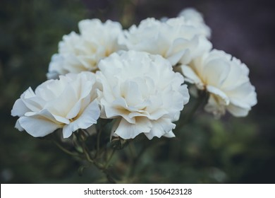 White roses close-up in nature