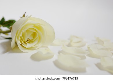 White roses isolated on white background. Use for Valentine day.Copy space