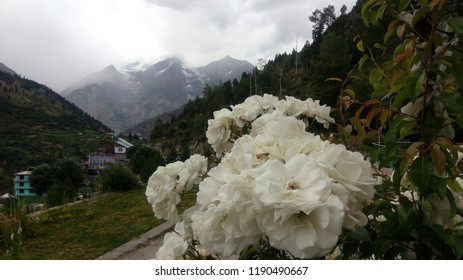 white roses on the background of mountains