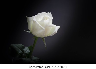 White roses on a black background.
