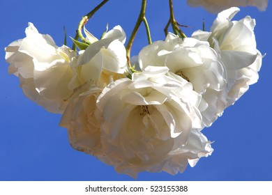 white roses on a blue sky background