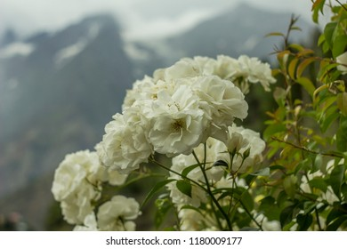 white roses on a bush on a background of mountains