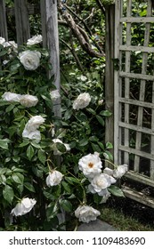 White roses with trellis in this Summer Garden in New Jersey.
