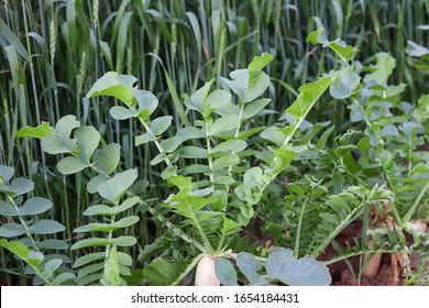 white round radishes growing in the garden,radish growing in soil. Ripe white root vegetable with green leaves.organic radishes planting in greenhouses.