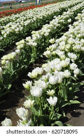 White rows of tulips at a tulip festival in western Washington state U.S.