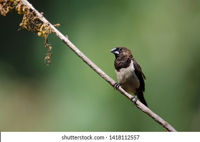 White Rumped Munia It is approximately 10 to 11 cm in length, with a stubby grey bill and a long black pointed tail. The adults are brown above and on the breast, and lighter below, the rump is white.