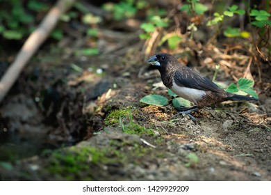 White rumped munia bird standing on ground next to a puddle of water, Nam Kham Nature Reserve,Thailand. A Thirsty bird