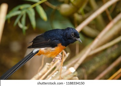 A white rumped shama thrush perches on a bush
