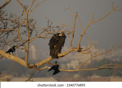White Rumped Vulture Adults and Juveniles being mobbed by crows near their nesting site/colony on riverfront, Sabarmati, Ahmedabad, Gujarat