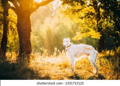 White Russian Dog, Borzoi, Hunting dog in Summer Sunset Sunrise Forest.
