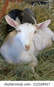 White Saanen alpine dairy goat resting in a pile of hay
