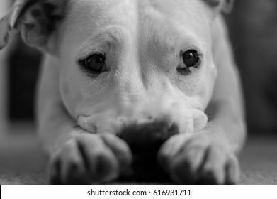 White sad dog lying on the carpet