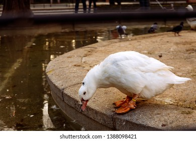white and sad duck  looking at the edge of the pond