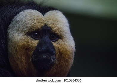 A white saki monkey eats