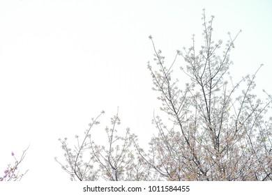 White Sakura flower blooming.