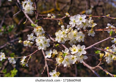 White sakura flower blossoming as natural background on blurred backdrop