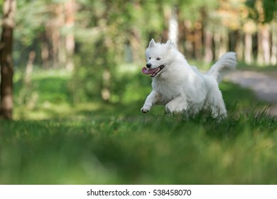 White Samoyed dog.