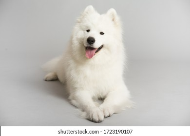 A white Samoyed dog, lying on a grey background and looking directly at the camera