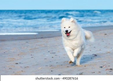 white Samoyed dog runs along the beach near the sea