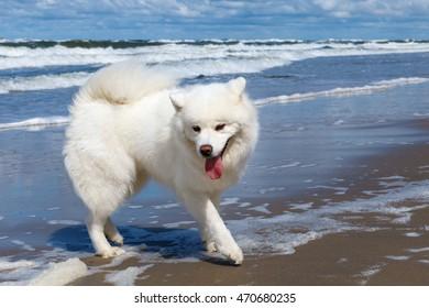 white Samoyed dog walks near the sea